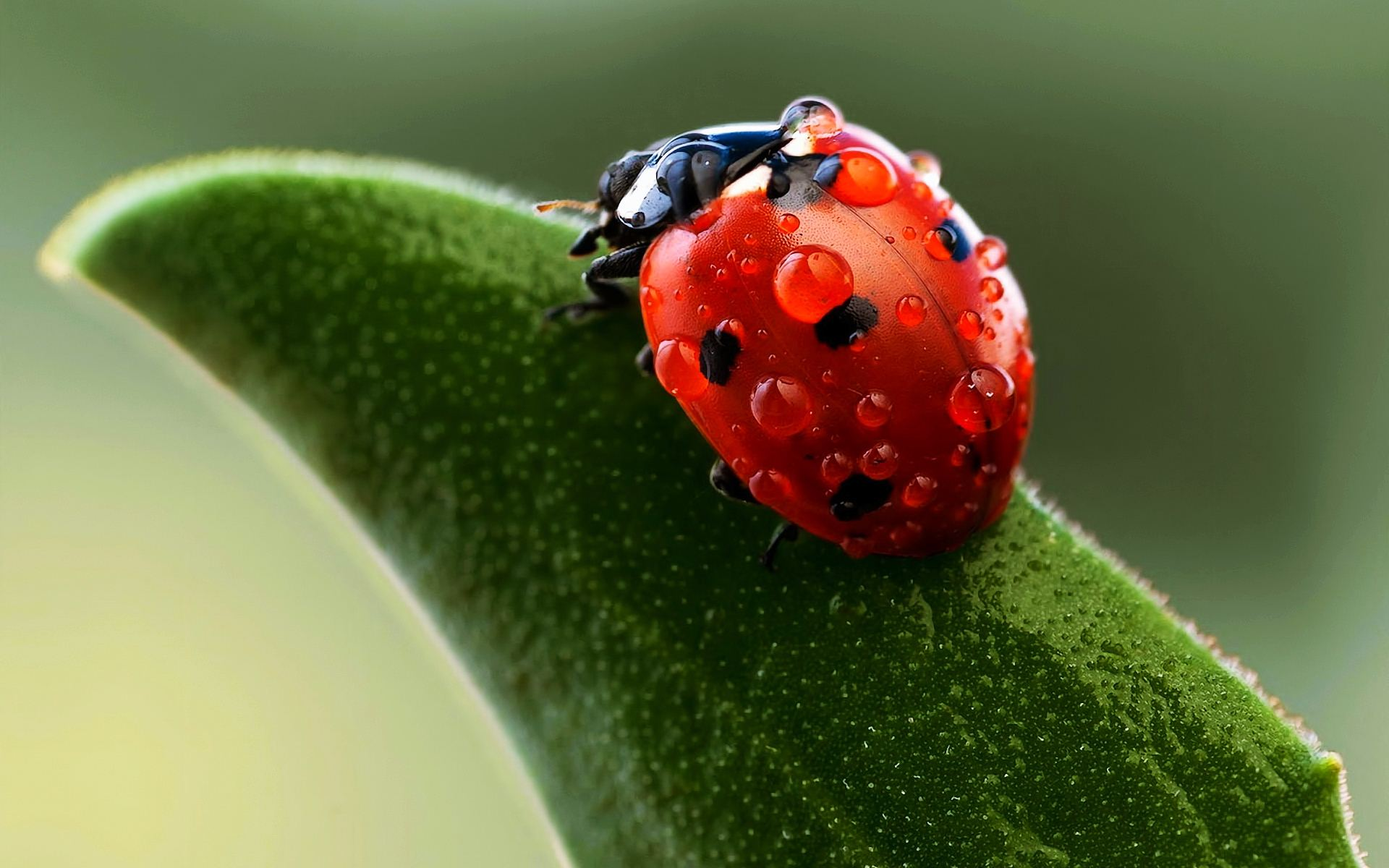Ladybug-High-Quality-Wallpaper-Desktop