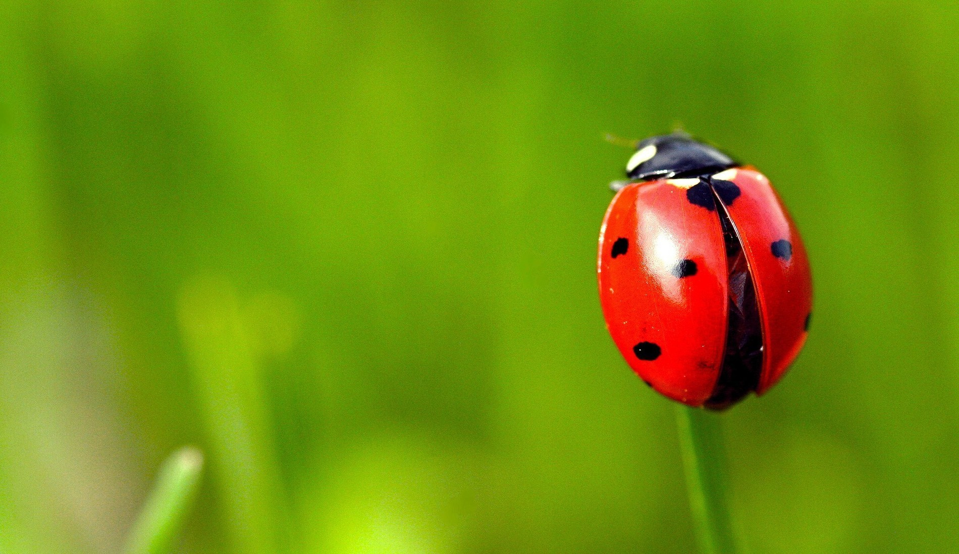 Ladybug-Picture-Wallpaper-HD-Desktop