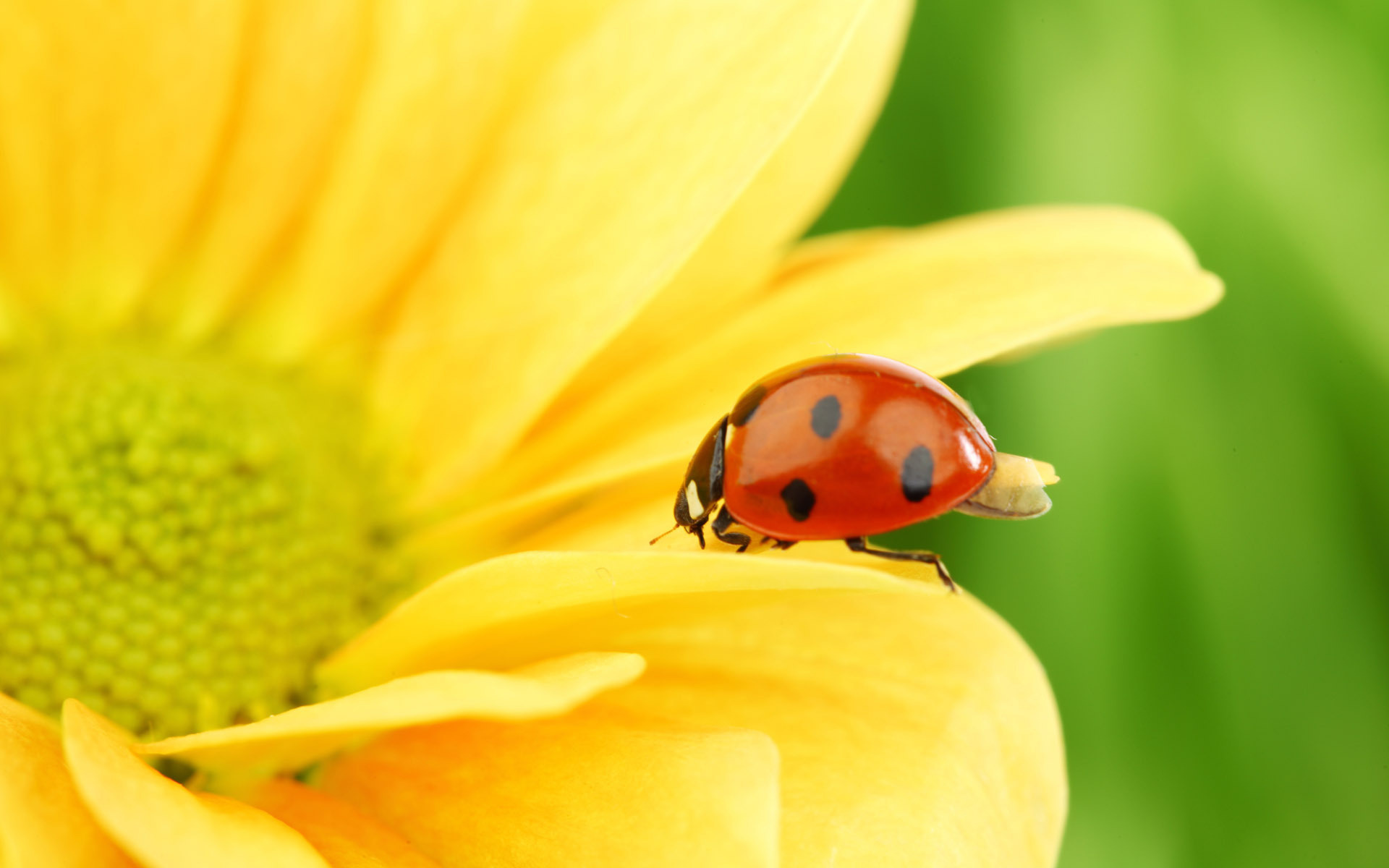 Ladybug-on-Flowers-picture