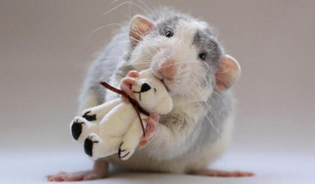 Smart-Rat-HD-animal-desktop-Wallpapers-2z31wj6ljpiuu7t142lrey