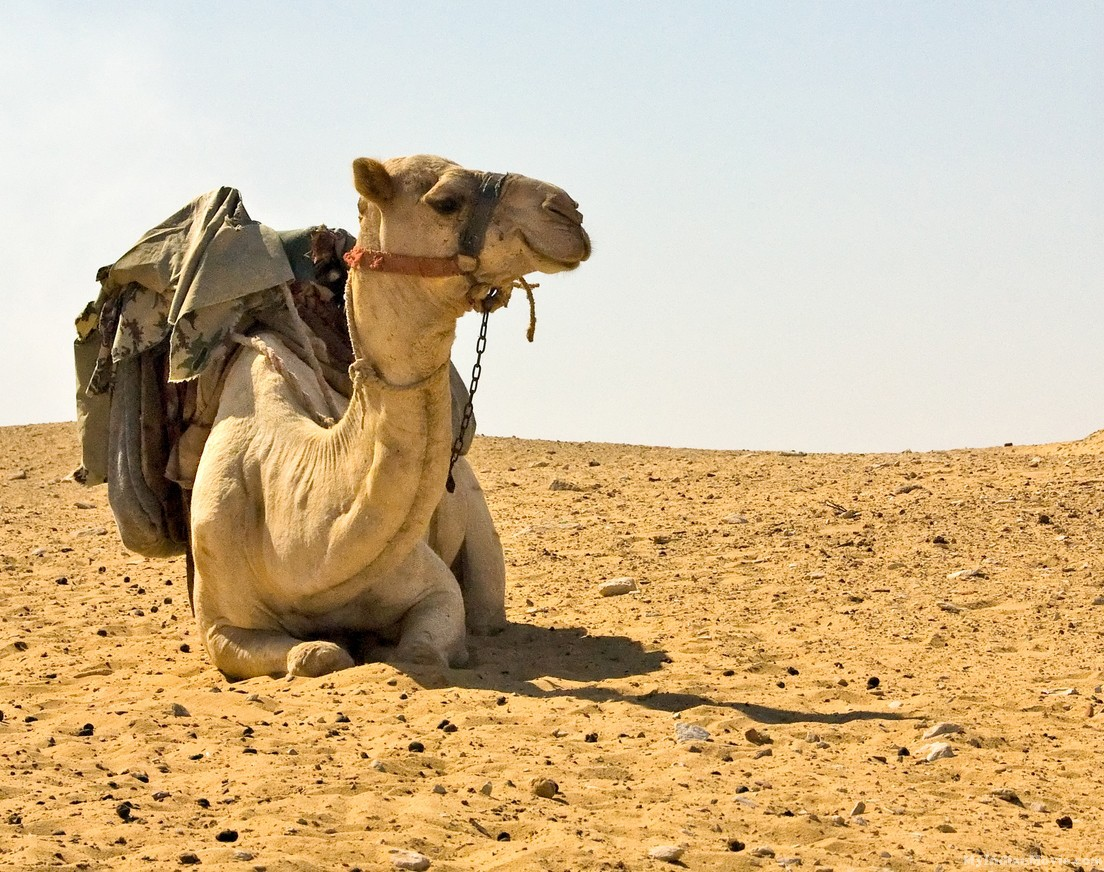 Saqqara, Cairo, Egypt -- A policeman's camel awaits his rider. (C) Rick Collier / RickCollier.com. travel; vacation; tour; tourism; tourist; destination; Egypt; Cairo; Saqqara; local; sights; camel; police; desert