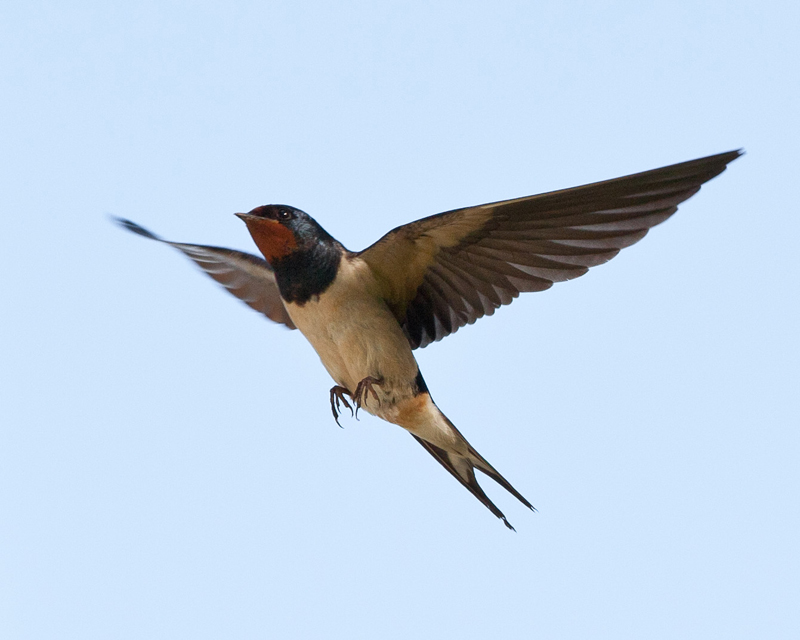 swallow-in-flight-4