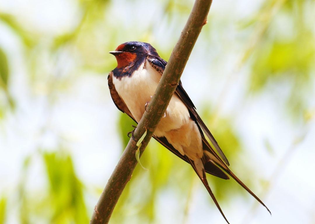swallow_hirundo_rustica-1445952