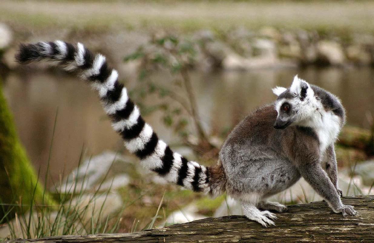 4871_lemur