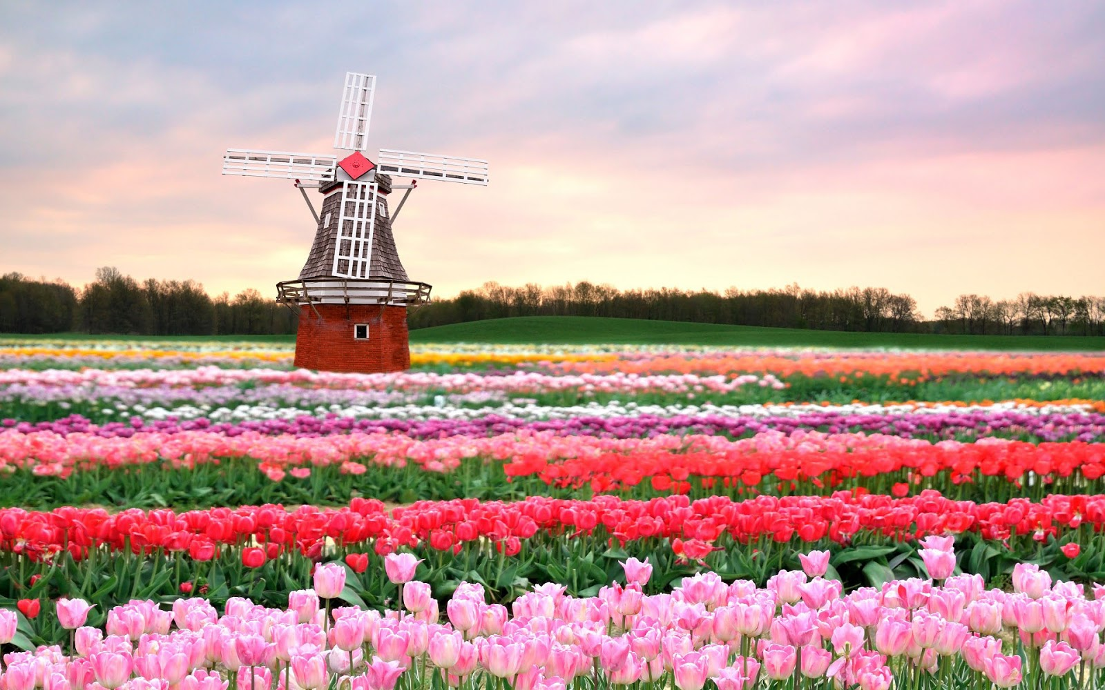 lente-achtergrond-met-een-veld-met-verschillende-kleuren-tulpen-en-een-molen-ergens-in-nederland