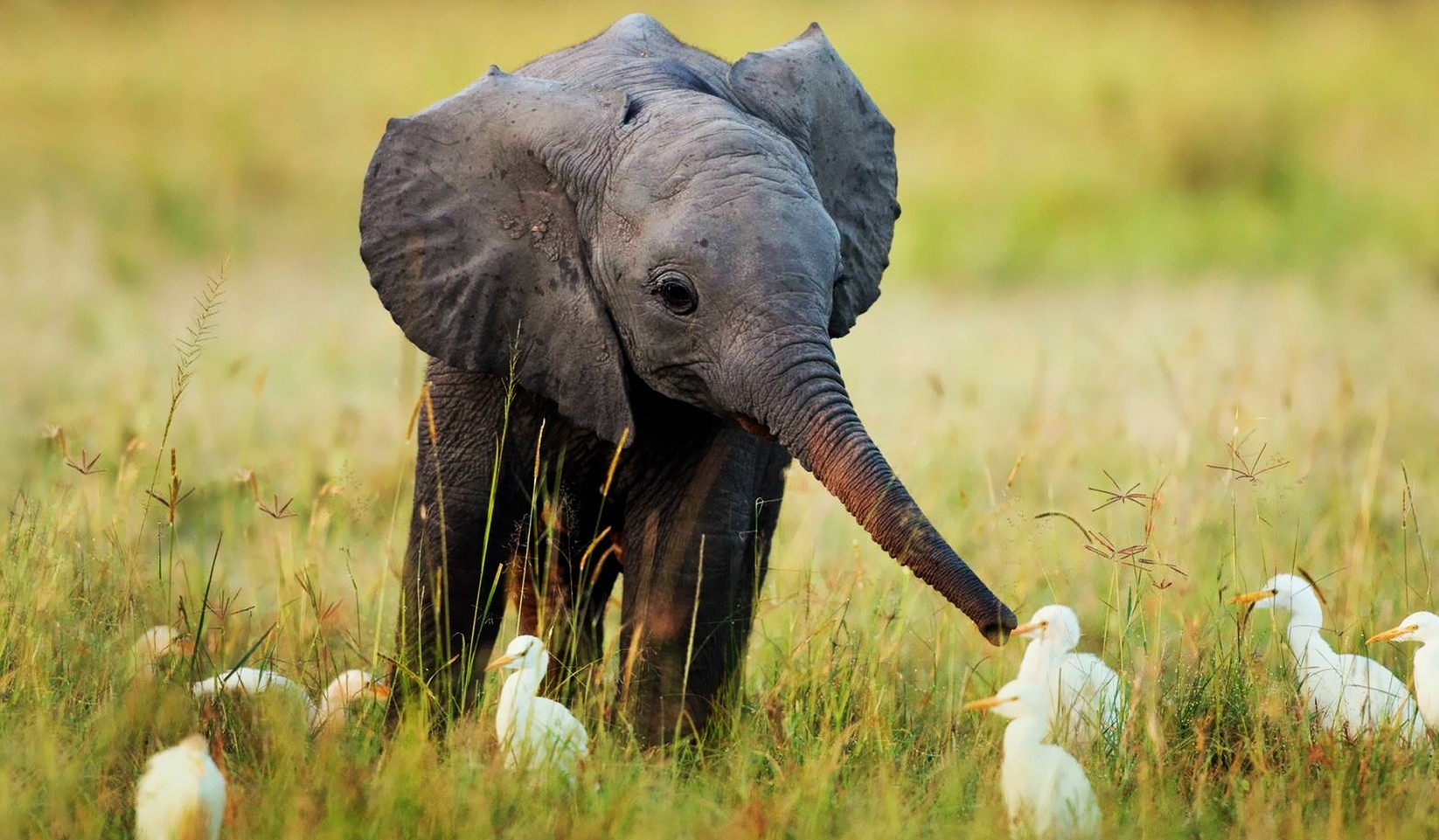 baby-elephant-and-egrets