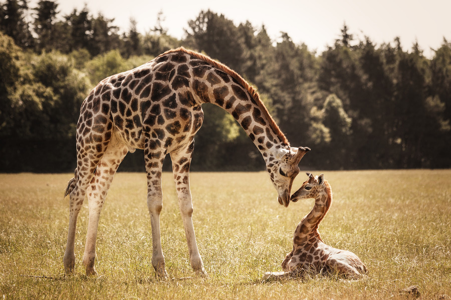 girafik