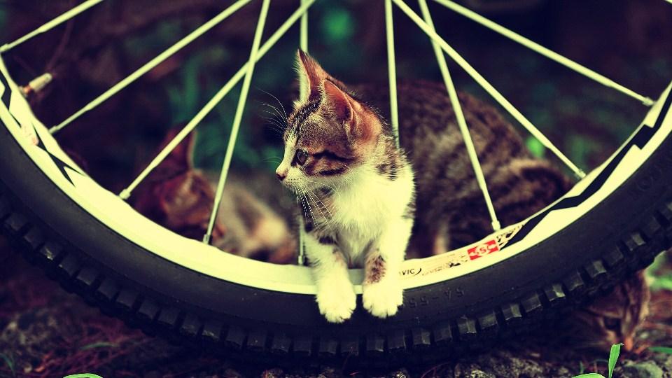 կատուները