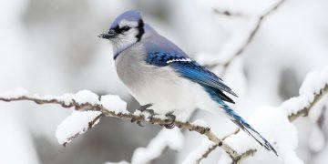 Ձմեռող թռչուններ